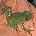 Peacock Tree Frog - Photo (c) herpguy, all rights reserved, uploaded by Paul Freed