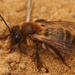 Andrena carantonica - Photo (c) Henk Wallays, all rights reserved
