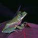 Victoria Forest Tree Frog - Photo (c) herpguy, all rights reserved, uploaded by Paul Freed