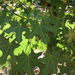 Broad-leaved Bottletree - Photo (c) bobbysaberi24, all rights reserved