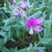 Sweet Pea Bush - Photo (c) Caroline Voget, all rights reserved