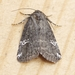 Gray Marvel Moth - Photo (c) Scott King, all rights reserved