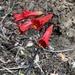 Phycella cyrtanthoides - Photo (c) Sebastian Nuñez, כל הזכויות שמורות