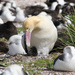 Short-tailed Albatross - Photo  Leary, Pete, no known copyright restrictions (public domain)