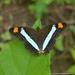 Mariposa Monjita Vasilona - Photo (c) Juan Carlos Garcia Morales, todos los derechos reservados