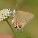 Electrostrymon hugon - Photo (c) Juan Carlos Garcia Morales, כל הזכויות שמורות