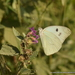 Ganyra josephina josepha - Photo (c) Juan Carlos Garcia Morales, all rights reserved