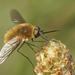 Bombylius venosus - Photo (c) Henk Wallays, כל הזכויות שמורות