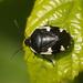 Tritomegas sexmaculatus - Photo (c) Henk Wallays, todos los derechos reservados