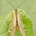 Panorpa alpina - Photo (c) Henk Wallays, כל הזכויות שמורות