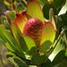 Leucadendron strobilinum - Photo (c) Chris Whitehouse, todos los derechos reservados