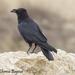 Corvus cryptoleucus - Photo (c) Theresa Bayoud, כל הזכויות שמורות