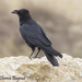 Chihuahuan Raven - Photo (c) Theresa Bayoud, all rights reserved