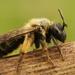 Andrena bicolor - Photo (c) Henk Wallays, todos los derechos reservados