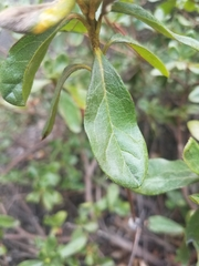 Image of Rhododendron indicum