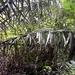 Phytelephas aequatorialis - Photo (c) rudygelis, כל הזכויות שמורות