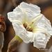 Ipomoea murucoides - Photo (c) Juan Carlos Garcia Morales, όλα τα δικαιώματα διατηρούνται