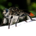 Andrenosoma cruentum - Photo (c) Jay L. Keller, all rights reserved
