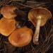 Gymnopilus sapineus - Photo (c) Trent Pearce, todos los derechos reservados