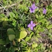Heliophila subulata subulata - Photo (c) Ohna, all rights reserved