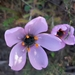 Drosera cistiflora - Photo (c) Marilyn Scholtz, todos los derechos reservados