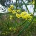 Acacia stricta - Photo (c) James Peake, todos los derechos reservados