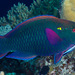 Swarthy Parrotfish - Photo (c) Francois Libert, some rights reserved (CC BY-NC-SA)