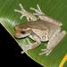 Trachycephalus vermiculatus - Photo (c) Crystal Kelehear, todos los derechos reservados
