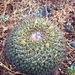 Mammillaria gigantea - Photo (c) ximbaez, all rights reserved