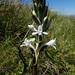 Satyrium amoenum - Photo (c) gg68, todos os direitos reservados, uploaded by GRUNENWALD