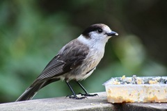 Canada Jay - Photo (c) Cédric Duhalde, all rights reserved