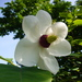 Magnolia sieboldii - Photo (c) Inge Knoff,  זכויות יוצרים חלקיות (CC BY-NC)
