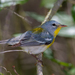 Northern Parula - Photo (c) Terry Woodward, all rights reserved