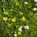 Ranunculus cheesemanii - Photo (c) David Lyttle, todos os direitos reservados