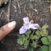 Tigridia seleriana - Photo (c) Bia'ni Madsa', todos los derechos reservados