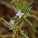 Rough Buttonweed - Photo (c) Mauricio Mercadante, some rights reserved (CC BY-NC-SA)