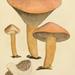 Chroogomphus rutilus - Photo James Sowerby, sin restricciones conocidas de derechos (dominio publico)