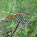 Sympetrum hypomelas - Photo (c) Tenzin DENDUP, todos los derechos reservados