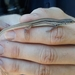 Ctenotus vertebralis - Photo (c) sambanks, todos los derechos reservados