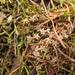 Lilaeopsis novae-zelandiae - Photo (c) Melissa Hutchison, todos los derechos reservados
