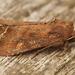 Lacanobia oleracea - Photo (c) Henk Wallays, todos los derechos reservados