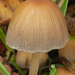 Coprinellus - Photo (c) Henk Wallays, all rights reserved