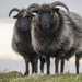 Domestic Sheep - Photo (c) caroline legg, some rights reserved (CC BY)