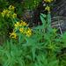 Senecio triangularis - Photo (c) faerthen, todos los derechos reservados, uploaded by faerthen