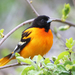 Baltimore Oriole - Photo (c) Tom Murray, some rights reserved (CC BY-NC)