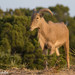 Aoudad - Photo (c) Ashley Wahlberg (Tubbs), some rights reserved (CC BY-ND)