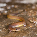 Many-ribbed Salamander - Photo (c) Mike Spencer, all rights reserved