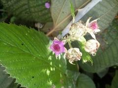 Rubus niveus image