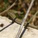 Podarcis filfolensis maltensis - Photo (c) Fabio Cianferoni, todos los derechos reservados