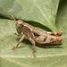 Pezotettix anatolica - Photo (c) Konstantinos Kalaentzis, todos los derechos reservados